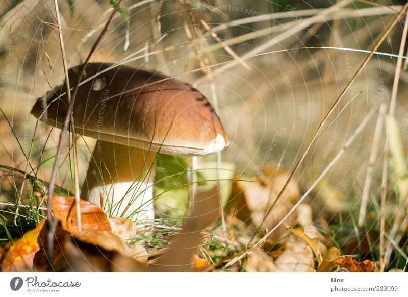 mushroom season Food Vegetarian diet Environment Nature Autumn Beautiful weather Grass Forest Growth Wait Brown Expectation Change Mushroom Leaf Accumulate