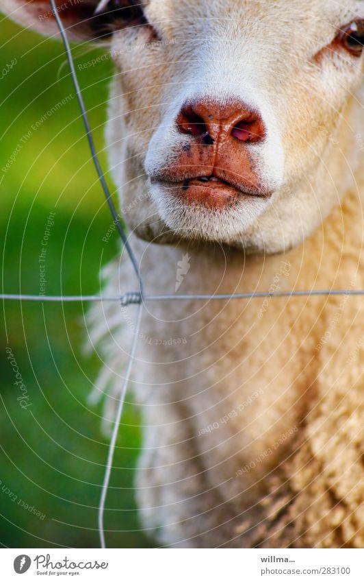 Animal Cute Observe Curiosity Pelt Animal face Fence Sheep Damp Captured Snout Farm animal Dank Wire fence