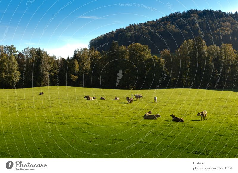Cows in the pasture Contentment Vacation & Travel Tourism Summer Summer vacation Mountain Agriculture Forestry Nature Landscape Sky Sunlight Beautiful weather