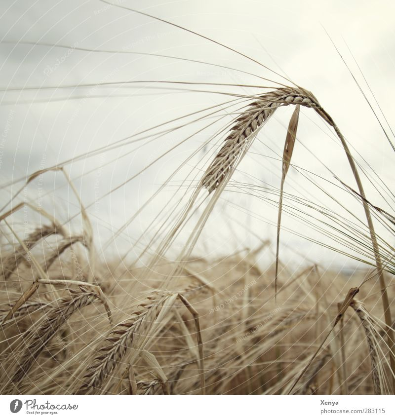 star Nature Landscape Sky Plant Agricultural crop Field Brown Autumnal Barley Barleyfield Barley ear Subdued colour Exterior shot Deserted Copy Space left Day