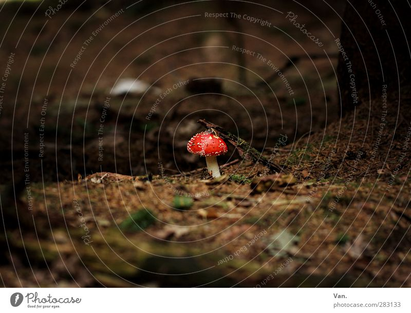 A little man stands in the forest... Nature Plant Earth Autumn Mushroom Amanita mushroom Leaf Fir needle Twig Forest Brown Red Poison Colour photo