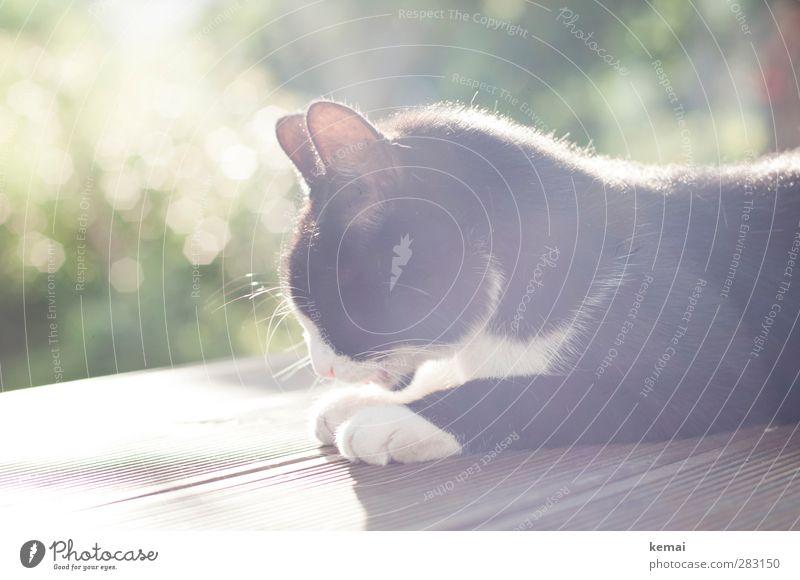 Cat Sun Animal Calm Black Garden Bright Lie Contentment Beautiful weather Bushes Cleaning Ear Pelt Serene Pet