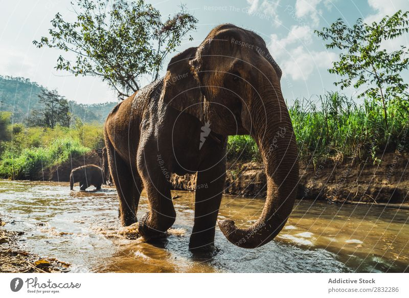 Big elephant standing in water Elephant Nature big Wild Animal Water Park wildlife Mammal Natural Vacation & Travel Chiangmai Skin Safari Cute Power Wilderness