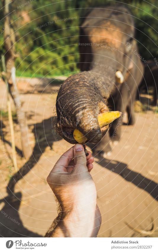 Elephant pulling trunk for treat Nature big Wild Animal Park Trunk Basket treats wildlife Mammal Natural Vacation & Travel Chiangmai Skin Safari Cute Power