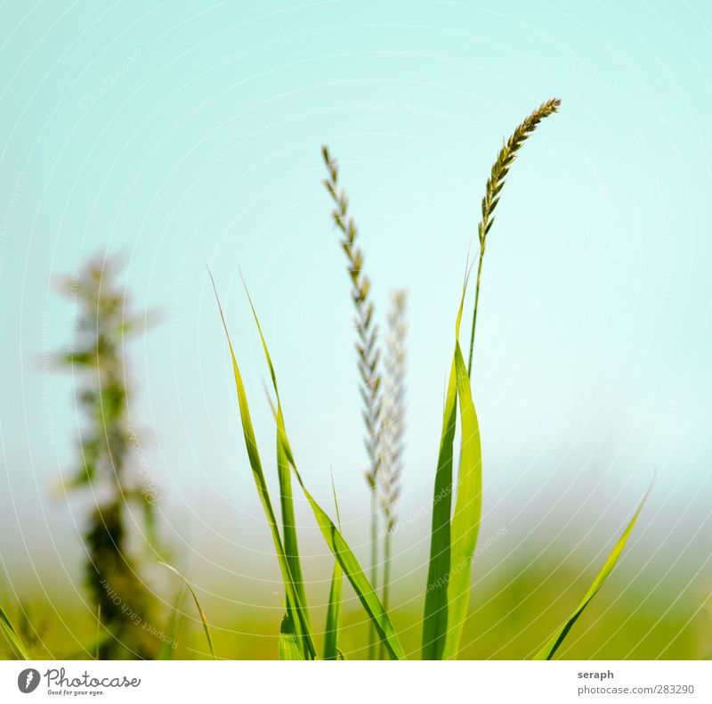 Meadow Nature Plant Flower Leaf Grass Dream Wild Growth Fresh Soft Blossoming Herbs and spices Common Reed Blade of grass Seed