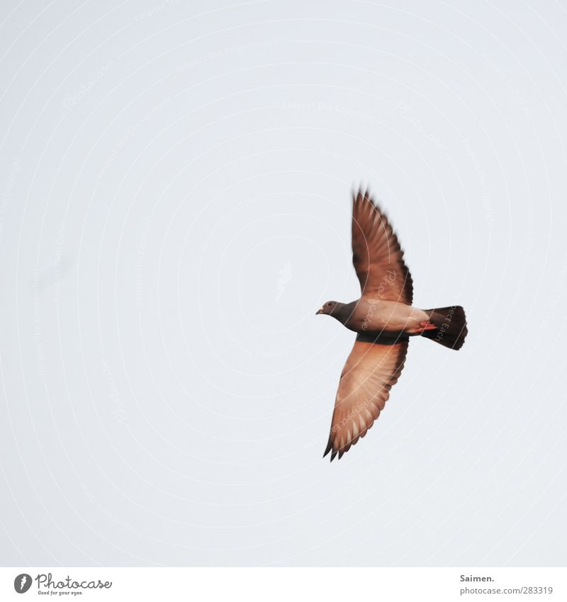 taubö Nature Air Animal Bird 1 Flying Freedom Pigeon Sky Wing Feather Colour photo Exterior shot Copy Space left Copy Space top Day Light Bird's-eye view