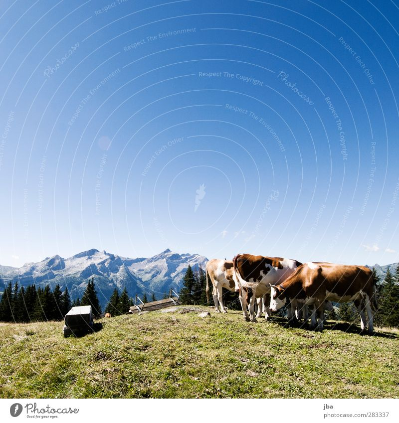 stand around Contentment Trip Freedom Summer Mountain Hiking Nature Landscape Animal Air Autumn Beautiful weather Grass Meadow Rock Alps oldenhorn Peak