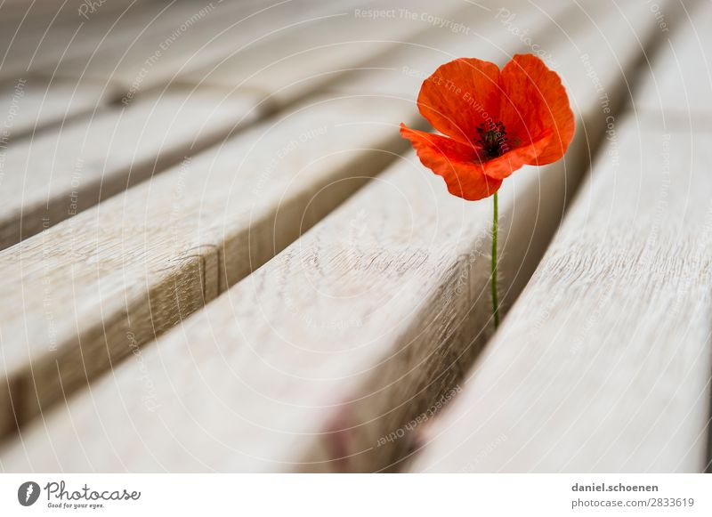 Nature Plant Red Flower Wood Environment Blossom Growth Uniqueness Survive Corn poppy Poppy blossom