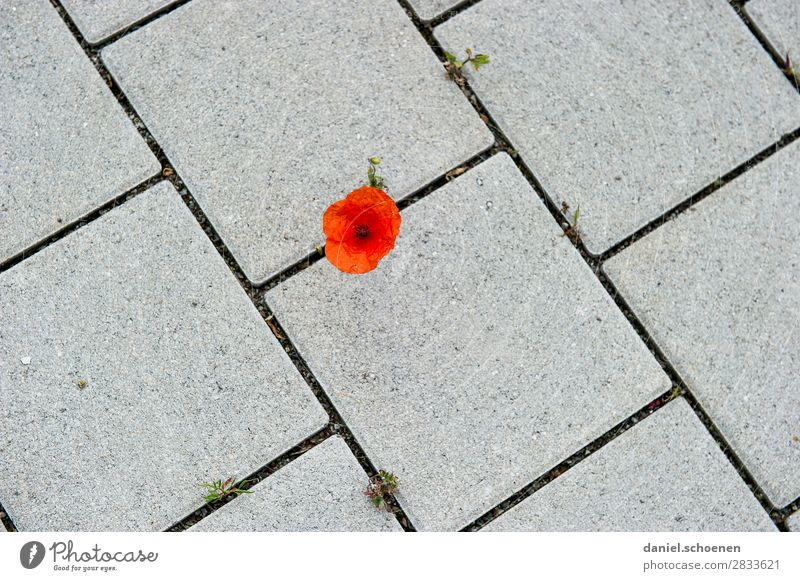 Nature Plant Town Flower Stone Line Beginning Uniqueness Poppy Survive Poppy blossom