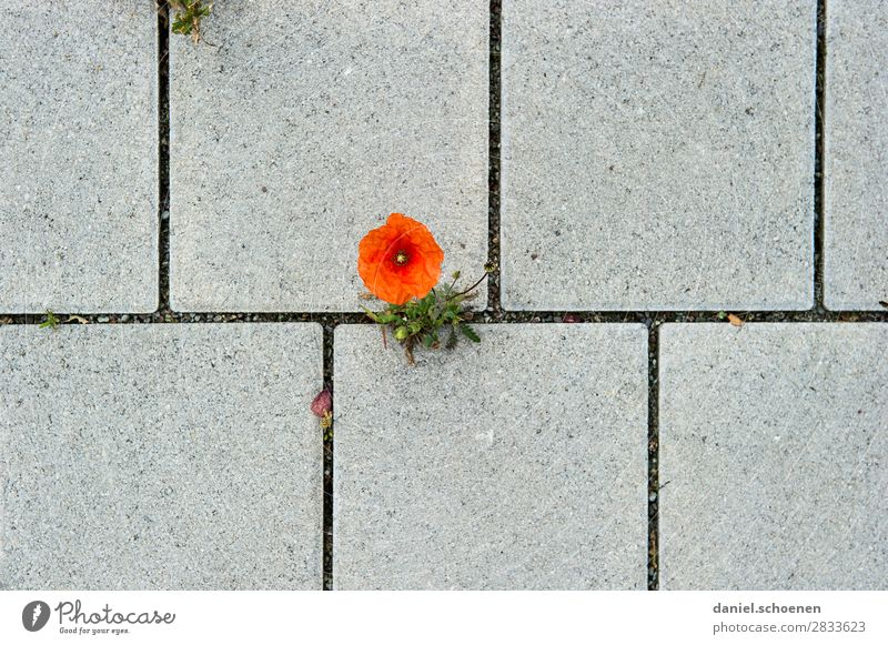 Poppy, graphical Environment Nature Plant Flower Blossom Stone Gray Red Resolve Town Growth Loneliness Poppy blossom Subdued colour Detail Deserted