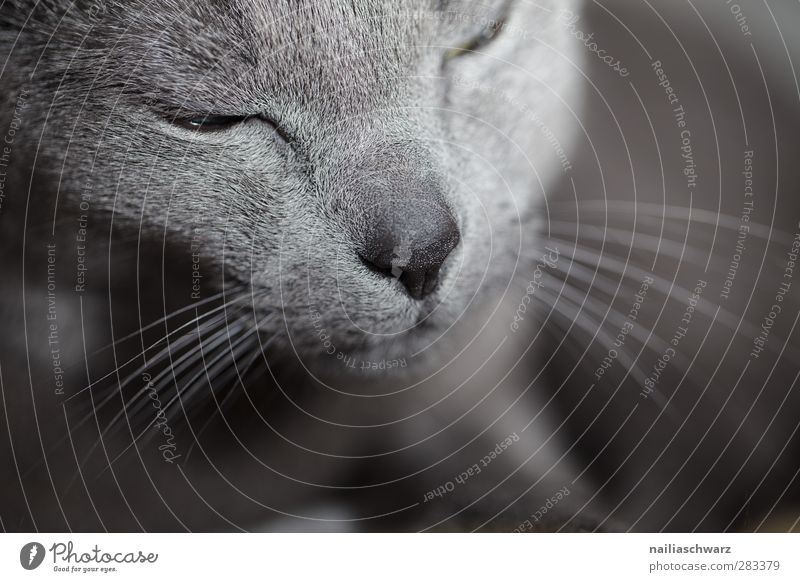 cat Animal Pet Cat 1 Relaxation Sleep Dream Elegant Cute Blue Gray Moody Contentment Love of animals Beautiful Serene Calm Deserted Shallow depth of field