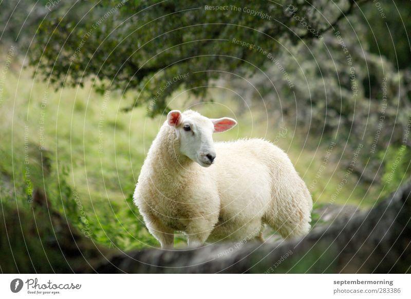 Animal Stand Observe Cuddly Farm animal