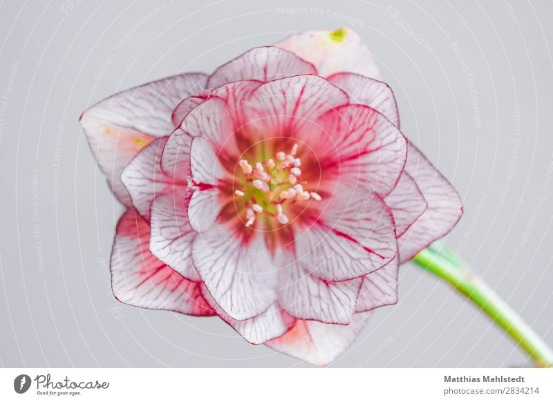 blossom of a bilge rose Environment Nature Plant Spring Blossom Christmas rose Blossoming Exceptional Fragrance Natural Pink Romance Beautiful Esthetic Pure