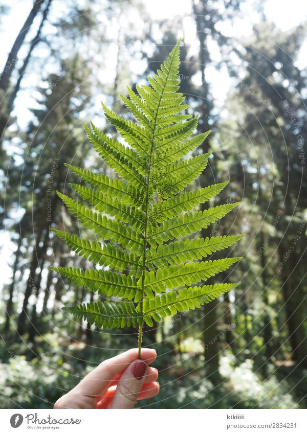 fern Hand Fingers Nature Plant Sunlight Summer Tree Fern Leaf Foliage plant Forest Brown Green To hold on Back-light Illuminate Delicate Nail polish