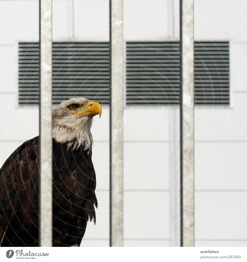 Displayed Wall (barrier) Wall (building) Facade Ventilation flap Animal Wild animal Bird Animal face Wing Zoo Bald eagle Eagle Bird of prey Beak Eyes 1 Concrete
