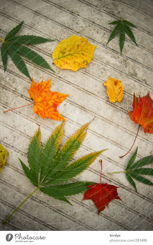 It autumn Plant Autumn Hemp Leaf Garden table Illuminate Esthetic Exceptional Multicoloured Vice Joy To enjoy Uniqueness Transience Autumn leaves