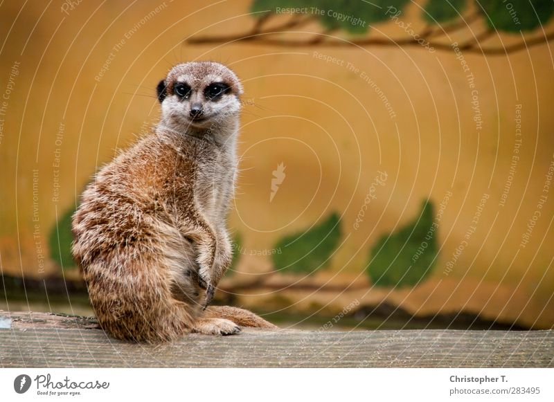 Nature Animal Environment Earth Wild animal Safety Observe Protection Zoo Bravery Meerkat