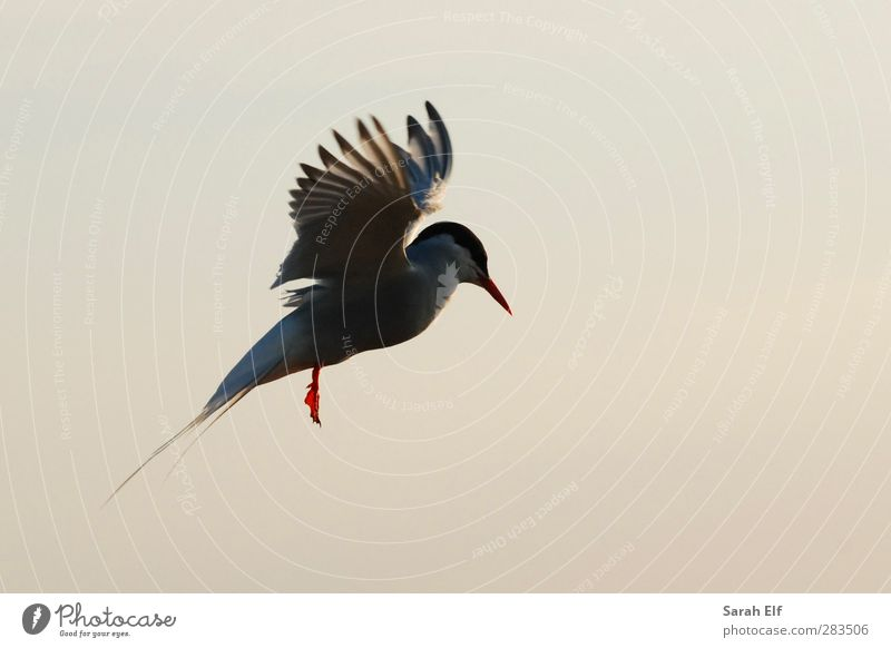 Arctic tern Air Sky Cloudless sky Summer Beautiful weather Wild animal Bird Wing 1 Animal Rutting season Movement Flying Communicate Esthetic Athletic Authentic