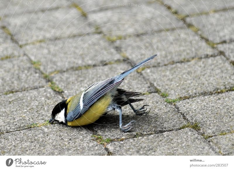 meise death crash-landing Bird Claw Tit mouse Lie Exhaustion Fiasco Death Survive Crash Nosedive Crash landing belly landing Crashed Paving stone