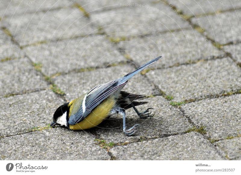 meise death crash-landing Bird Claw Tit mouse Lie Exhaustion Fiasco Death Survive Crash Nosedive Crash landing belly landing Crashed Paving stone