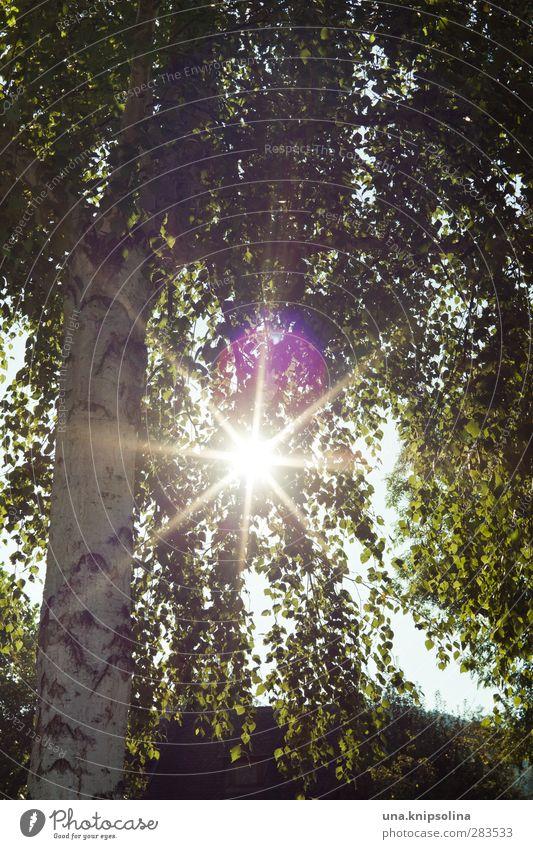 Nature Green Plant Tree Leaf Environment Bright Natural Illuminate Birch tree