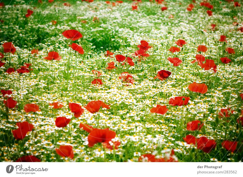 A Dream Of Spring Environment Nature Plant Flower Blossom Wild plant Meadow Green Red White Happiness Enthusiasm Life Hope Poppy Colour photo Exterior shot