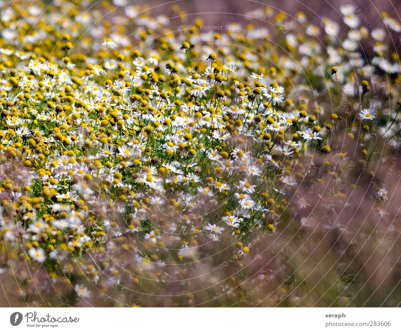 Wild Chamomile Flower Flower meadow Grass Grassland Meadow Marguerite Herbs and spices Medicinal plant Blossoming Daisy Family Summer Field Bud Nature Natural
