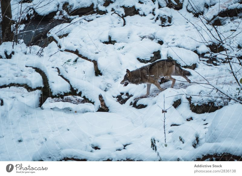Wolf running on snow Snow Running Winter predator wildlife Mammal Nature Animal Dog Natural gray wolf Carnivore Living thing Movement Wild Beauty Photography