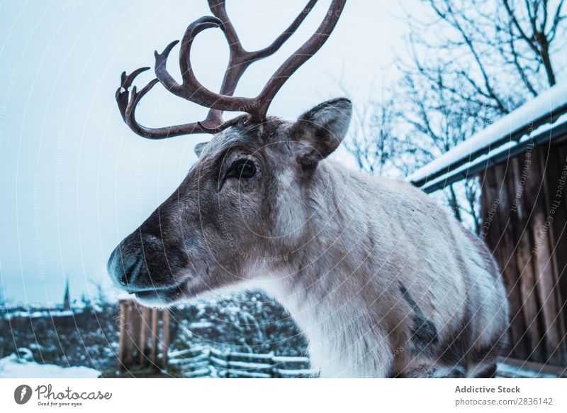 Deer with big horns Winter Nature Snow Animal wildlife Forest Landscape Mammal Man Wild Buck Cold Fur coat Wilderness horned Head Seasons fauna Elegant Scene
