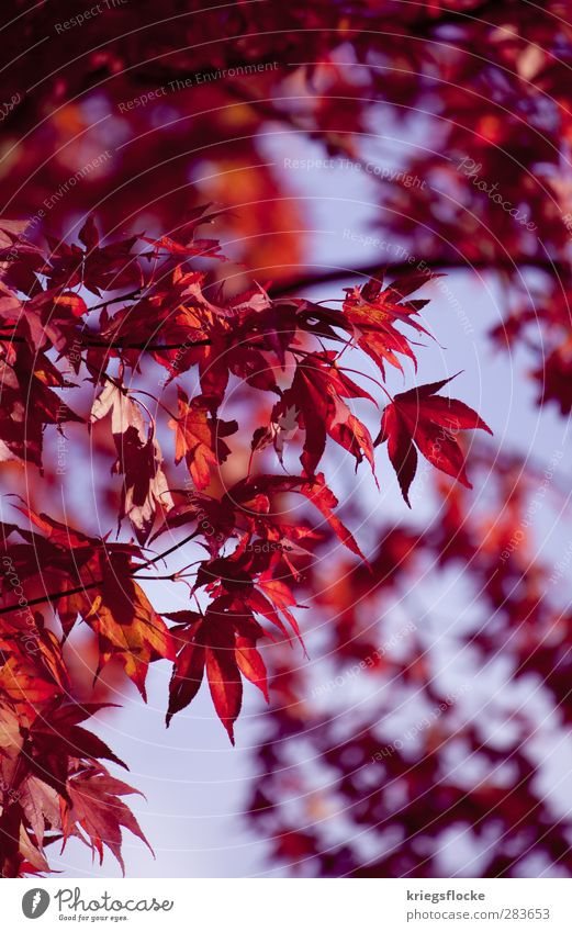Nature Beautiful Plant Tree Red Colour Leaf Meadow Autumn Park Exceptional Uniqueness Protection Violet Colouring