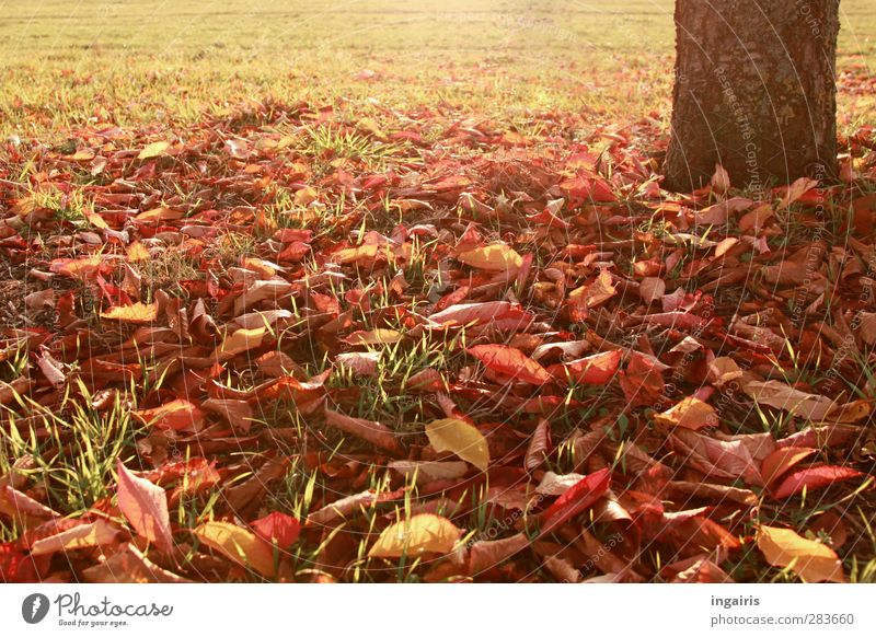 autumn leaves Nature Plant Earth Autumn Climate Weather Tree Grass Leaf Tree trunk Autumn leaves Early fall Autumnal colours Meadow Illuminate Warmth Brown