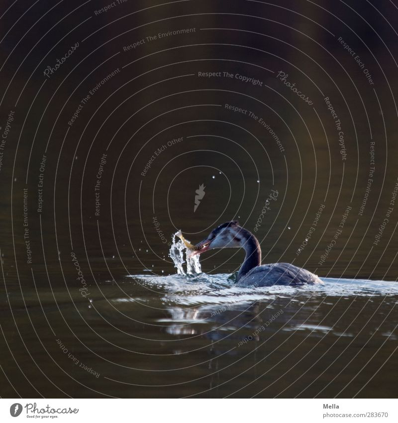 grasp one's food Environment Nature Animal Water Pond Lake Bird Crested grebe 1 Catch To feed Natural Appetite Life Fish Colour photo Exterior shot Deserted