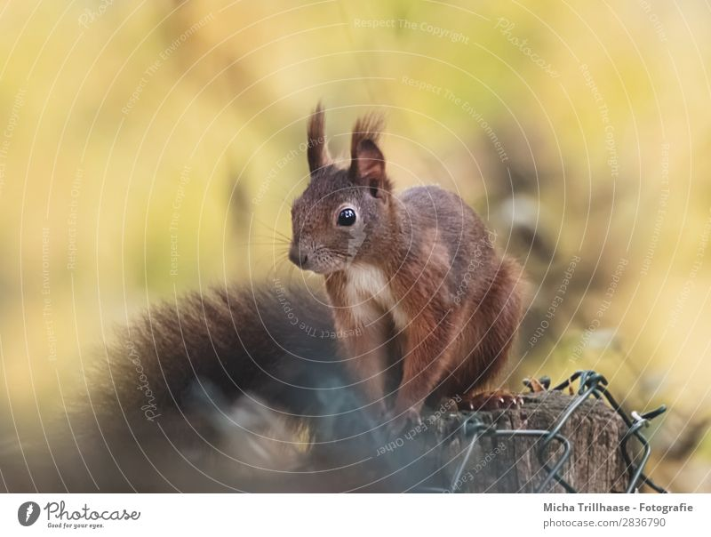 Squirrel on the fence post Nature Animal Sunlight Beautiful weather Wild animal Animal face Pelt Claw Paw Rodent Eyes Ear Nose 1 Observe Relaxation Glittering