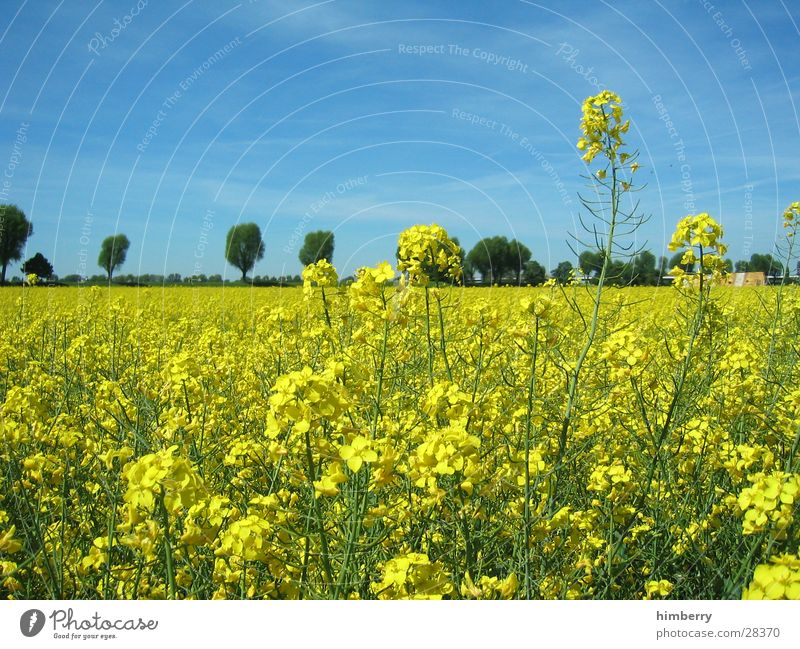 yellow field Flower Field Duesseldorf Landscape Nature Canola Tree Plant Trip To go for a walk Organic produce Organic farming Oil Cooking oil Ecological
