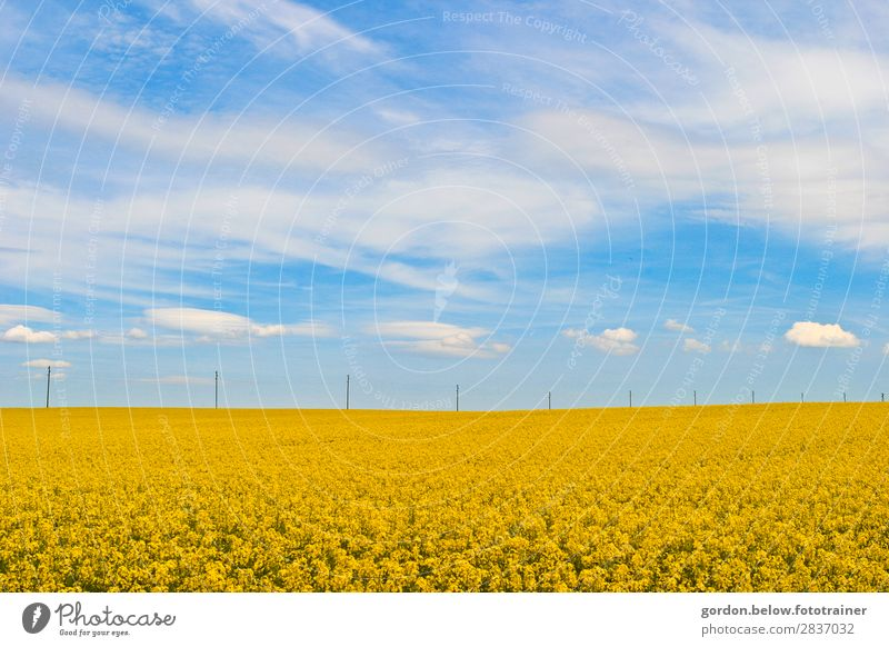 #Spring Vacation & Travel Trip Nature Landscape Plant Sky Clouds Canola field Authentic Fragrance Simple Friendliness Infinity Blue Brown Yellow Gray White Joy