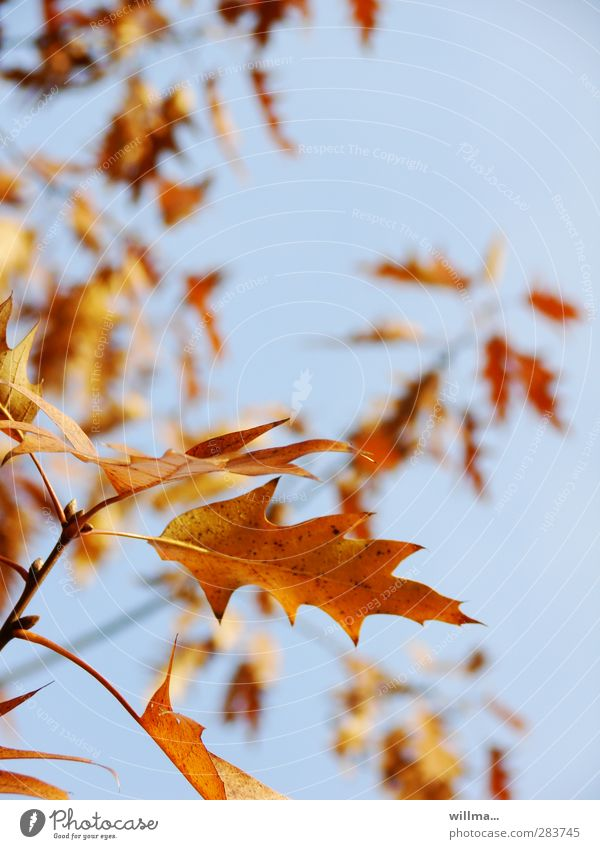 Blue Tree Leaf Yellow Autumn Brown Orange Free Beautiful weather Twig Cloudless sky Autumnal Oak leaf