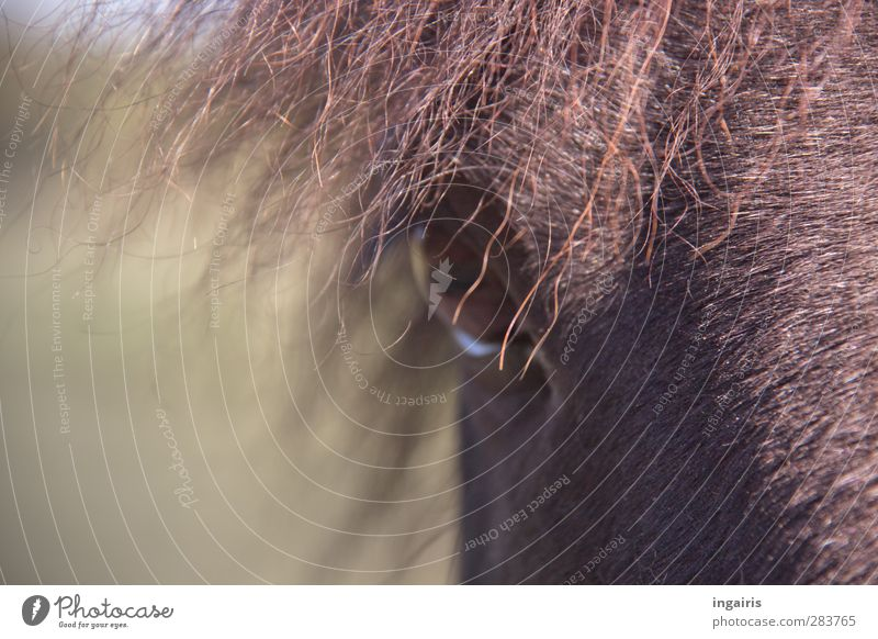 In the moment of the moment Ride Nature Animal Farm animal Horse Eyes Horse's eyes Mane Iceland Pony Parts of body 1 Observe Looking Friendliness Curiosity