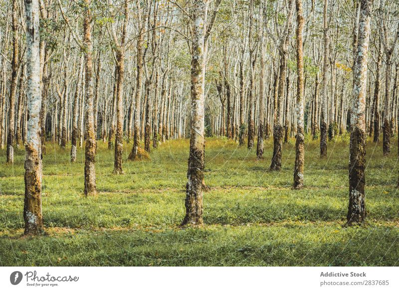 Rows of trees in forest Forest Green Spring rows Tree Nature Seasons Environment Beautiful Landscape Perspective Light Sunlight Natural Park Plant Scene