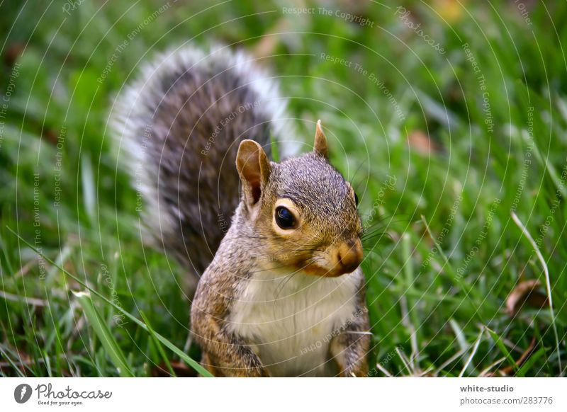 Good morning Mr. Squirrel Nature Landscape Rodent tree fox oak calibration bunny Mammal 1 Animal Discover Hunting Wait Curiosity Cute Wild Happiness Arrogant