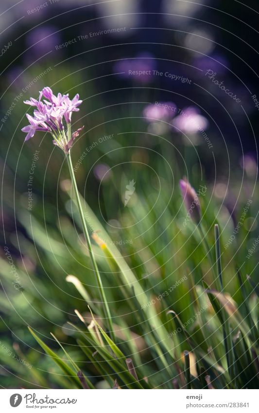 bee paradise Environment Nature Plant Beautiful weather Flower Grass Natural Green Violet Blossom Spring Colour photo Exterior shot Close-up Detail
