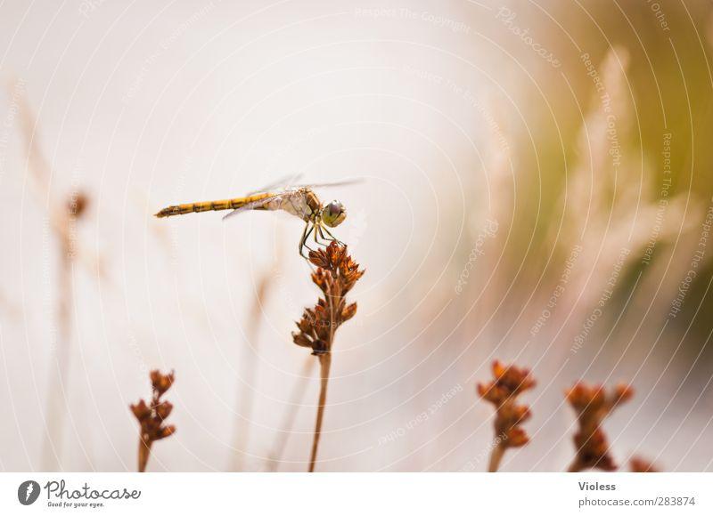 Animal Brown Natural Dragonfly