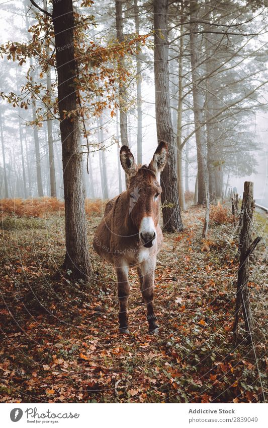 Donkey in autumn forest Forest Nature Autumn Animal Livestock Fence Rural Landscape Trunk Seasons Park Beautiful Multicoloured Natural Leaf Light Environment