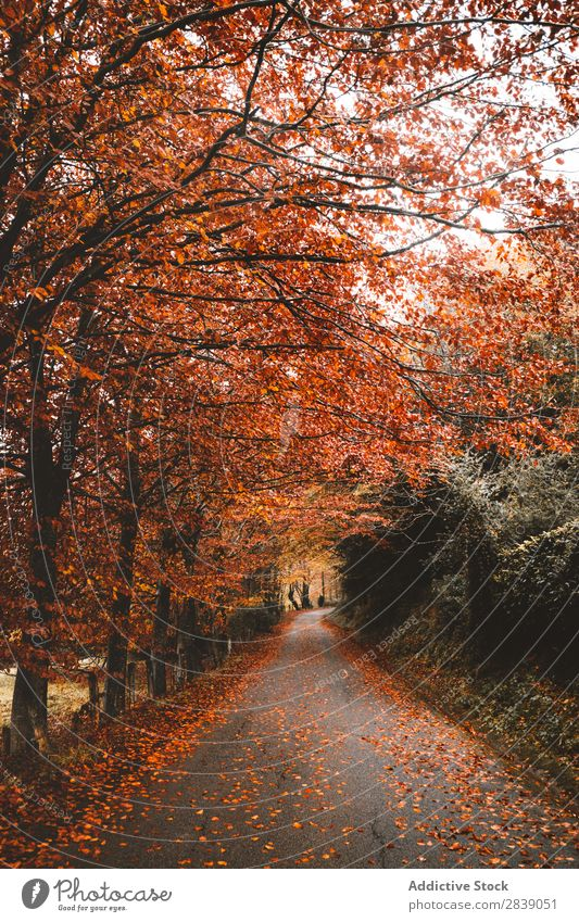 Asphalt road in red forest Forest Nature Autumn Street Leaf Rural Landscape Trunk Seasons Park Beautiful Multicoloured Natural Light Environment Plant scenery