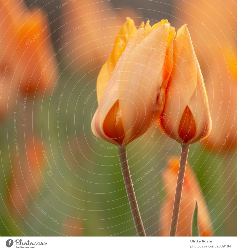 Two orange tulips Wellness Life Harmonious Well-being Contentment Relaxation Calm Meditation Spa Decoration Wallpaper Image Easter card Nature Plant Spring