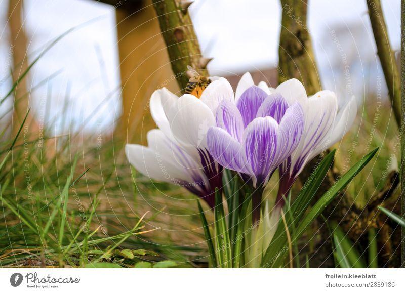 Hocus Crocus Joy Nature Plant Earth Spring Flower Grass Blossom Garden Bee 1 Animal Happy Happiness Joie de vivre (Vitality) Spring fever Warm-heartedness