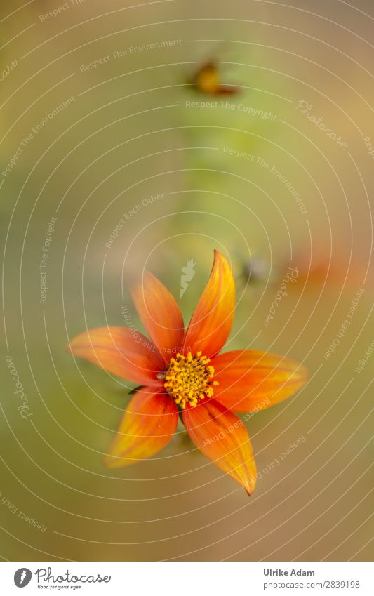 Orange blossom dream. Design Wellness Harmonious Contentment Relaxation Calm Meditation Spa Decoration Wallpaper book cover Feasts & Celebrations Nature Plant