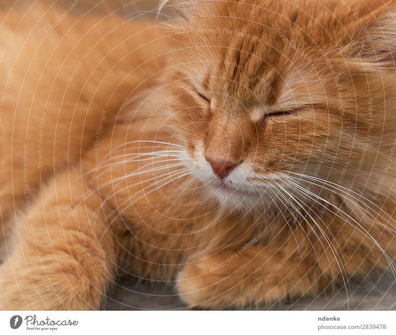 red adult cat sleeps curled up Joy Relaxation Sun Animal Pet Cat 1 Sleep Funny Cute Brown Yellow Red Serene orange Domestic fluffy young pretty one hair