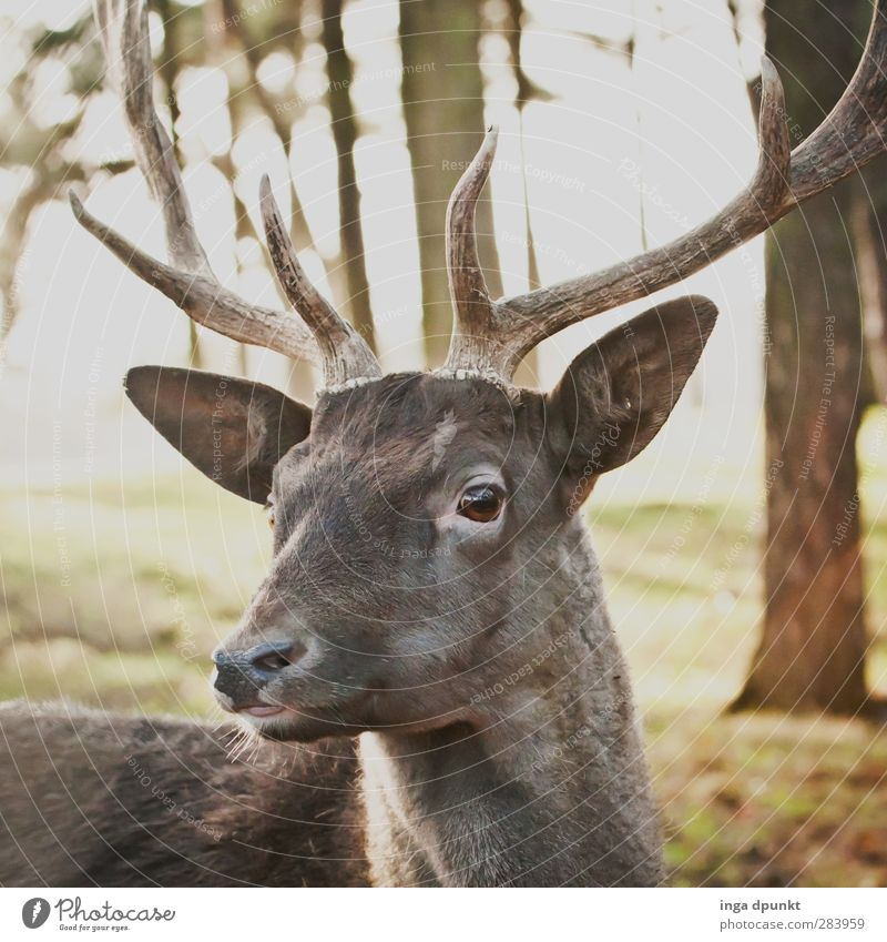 Nature Animal Forest Environment Germany Wild animal Animal face Antlers Environmental protection Mammal Deer Roe deer Fallow deer Hunting grounds
