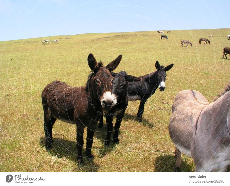 What are you doing? Americas Mule Animal Meadow Hill Pasture Nature Donkey