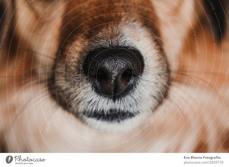 close up view of a dog snout. brown fur. macro shot Beautiful Face Animal Fur coat Pet Dog Love Sleep Small Wet Curiosity Cute Brown Black White Interest nose